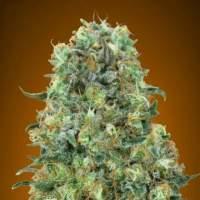 Critical  Mass  Feminised  Cannabis  Seeds