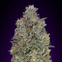 Critical  Purple  Kush  Feminised  Cannabis  Seeds