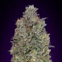 Critical  Purple  Kush  Feminised  Cannabis  Seeds