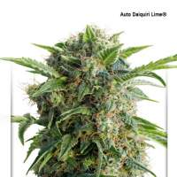 Daiquiri Lime Auto Feminised Seeds