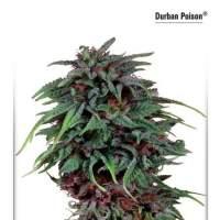 Durban  Poison  Dutch  Passion 031 0