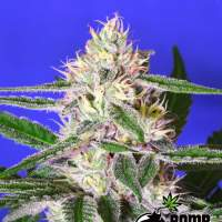 Edam Bomb Feminised Seeds