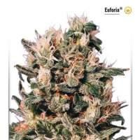 Euforia Feminised Seeds