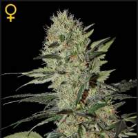 Exodus Cheese AUTO Feminised Seeds