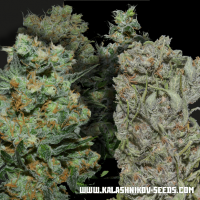Express Mix Feminised Seeds