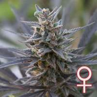Spontanica Feminised Seeds