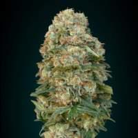 Female  Mix  Feminised  Cannabis  Seeds