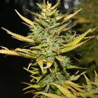 G13 Hashplant Feminised Seeds