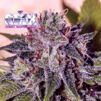 Gordo Master Kush (GMK) Feminised Seeds