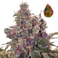 Grapefruit Feminised Seeds