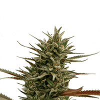 Green Mango CBD Feminised Seeds