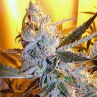 Heaven's Haze Autoflowering Regular Seeds