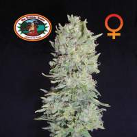 Hindu Cream Feminised Seeds