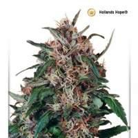 Holland  039  S  Hope  Feminised  Cannabis  Seeds  Jpg