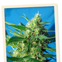 Ice Cool AUTO Feminised Seeds