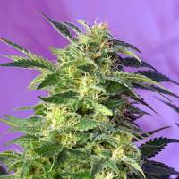 Killer Kush Auto Feminised Seeds
