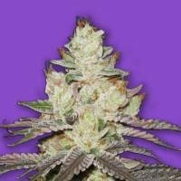 Killer Purps Feminised Seeds