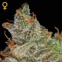 King's Kush AUTO Feminised Seeds