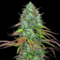 LSD Auto Feminised Seeds