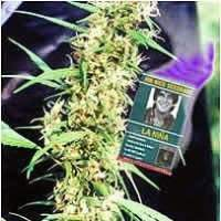 La Nina Regular Seeds