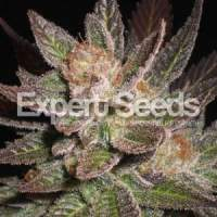 Lavender  Feminised  Cannabis  Seeds  Jpg