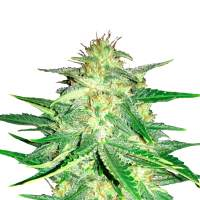 Lemon AK Auto Feminised Seeds