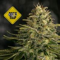 Lemon Trip Feminised Seeds