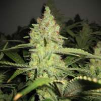 Lemon Pineapple Feminised Cannabis Seeds