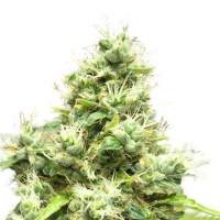 Medi Bomb #1 Feminised Seeds
