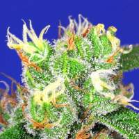 Medi Bomb #2 Feminised Seeds