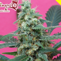 Mong - U - Mental Feminised Seeds