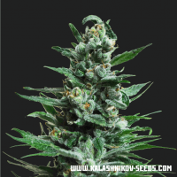 Moscow Blueberry AUTO Feminised Seeds