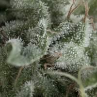 Nefertiti  Autoflowering  Jpg