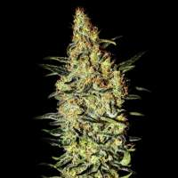 Neville's Haze Feminised Seeds