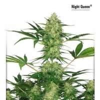 Night Queen Feminised Seeds