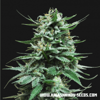Northern Russian AUTO Feminised Seeds