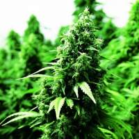 Ogre  Auto  Feminised  Cannabis  Seeds  Jpg