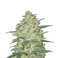 Original  White  Widow  Auto  Jpg