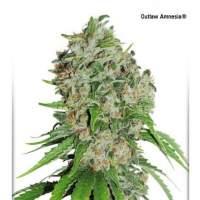 Outlaw Amnesia Feminised Seeds