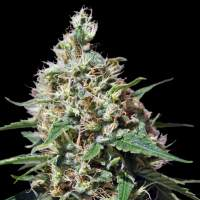 Peppermint Kush Feminised Seeds
