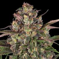 Peyote Critical Feminised Seeds