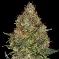 Pineapple Express Auto Feminised Seeds