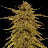 Pineapple Haze Regular Seeds