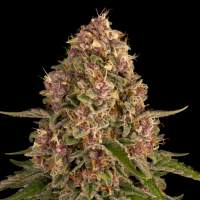 Pink Kush Feminised Seeds