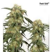 Pamir Gold Feminised Seeds