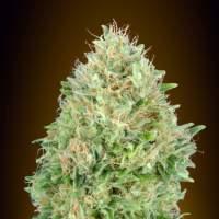 Pineapple  Glue  Feminised  Cannabis  Seeds