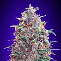 Purple  Diesel  Auto  Feminised  Cannabis  Seeds