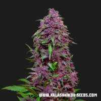 Purple Mazar Auto Feminised Seeds