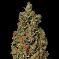 Red Diesel Feminised Seeds