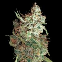 Red Dragon Feminised Seeds